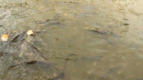 Il coccodrillo mangia la carne in lago archivi video