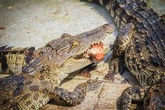 Il coccodrillo spaventoso sta mangiando la carne fresca nell'azienda agricola Azienda agricola del coccodrillo Immagine Stock Libera da Diritti