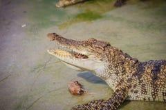 Il coccodrillo spaventoso sta mangiando la carne fresca nell'azienda agricola Azienda agricola del coccodrillo Fotografie Stock Libere da Diritti