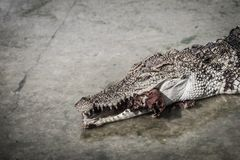 Il coccodrillo spaventoso sta mangiando la carne fresca nell'azienda agricola Azienda agricola del coccodrillo Immagine Stock