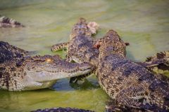 Il coccodrillo spaventoso sta mangiando la carne fresca nell'azienda agricola Azienda agricola del coccodrillo Fotografie Stock