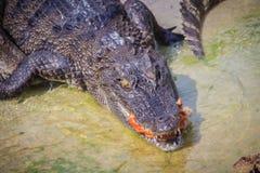 Il coccodrillo spaventoso sta mangiando la carne fresca nell'azienda agricola Azienda agricola del coccodrillo Fotografia Stock Libera da Diritti