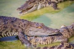 Il coccodrillo spaventoso sta mangiando la carne fresca nell'azienda agricola Azienda agricola del coccodrillo Fotografia Stock