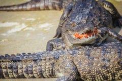Il coccodrillo spaventoso sta mangiando la carne fresca nell'azienda agricola Azienda agricola del coccodrillo Immagini Stock Libere da Diritti