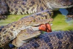 Il coccodrillo spaventoso sta mangiando la carne fresca nell'azienda agricola Azienda agricola del coccodrillo Immagini Stock