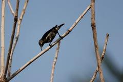 Il colibrì è nella natura e nella ricerca l'alimento dal Nature' s fotografie stock