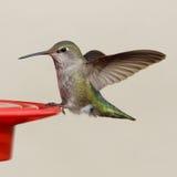 Il colibrì di Anna - Calypte Anna Immagine Stock Libera da Diritti