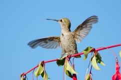 Il colibrì di Anna che gioca su Hardy Fuchsia Flowers immagine stock libera da diritti