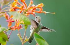 Il colibrì di Anna che si alimenta Honeysuckle Flowers fotografia stock