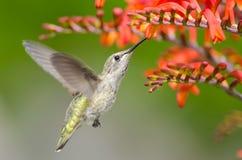 Il colibrì di Anna che si alimenta i fiori di Crocosmia fotografie stock