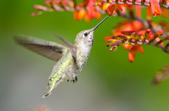 Il colibrì di Anna che si alimenta i fiori di Crocosmia immagini stock