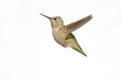 Il colibrì di Anna in volo fotografie stock