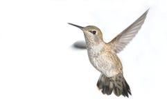 Il colibrì di Anna in volo, femminile fotografia stock