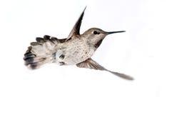 Il colibrì di Anna in volo, femminile immagine stock