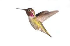 Il colibrì di Anna in volo, maschio fotografie stock