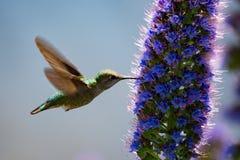 Il colibrì di volo Immagine Stock