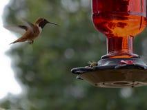 Il colibrì guarda un'ape mellifica mangiare il nettare da un alimentatore del cortile Fotografia Stock Libera da Diritti