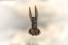 Il colibrì prende il volo Fotografie Stock Libere da Diritti