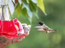 Il colibrì Rubino-Throated si avvicina all'alimentatore immagini stock