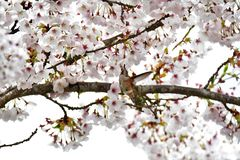 Il colibrì Rufous sta bevendo il nettare dai fiori mentre si librava fotografia stock