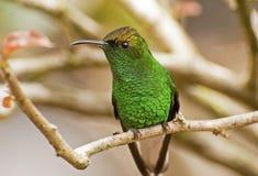 Il colibrì si è appollaiato sulla filiale di albero fotografia stock libera da diritti