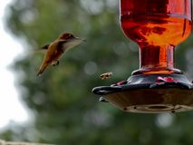 Il colibrì vola con un'ape mellifica vicino ad un alimentatore del cortile Fotografie Stock Libere da Diritti