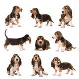 Il collage con il genere di Al di posizioni del bassotto artesien i cuccioli di cane del normand immagini stock
