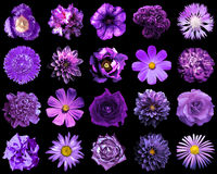 Il collage della viola naturale e surreale fiorisce 20 in 1 Fotografia Stock Libera da Diritti