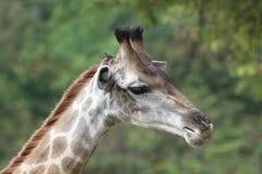 Il collo della giraffa gira a destra Fotografia Stock