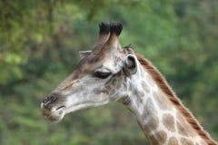 Il collo della giraffa gira a sinistra Fotografia Stock Libera da Diritti