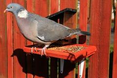 Il colombaccio comune Immagini Stock