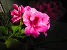 Il color scarlatto del fiore Fotografie Stock Libere da Diritti