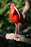 Il color scarlatto del ruber dell'Ibis Eudocimus si leva in piedi su una filiale di albero fotografia stock libera da diritti
