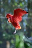 ?Il color scarlatto del ruber dell'Ibis? ?Eudocimus? si leva in piedi su una filiale di albero immagine stock