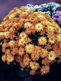 Il colore arancio fiorisce il fondo freshy Fotografia Stock