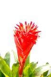 Il colore del fiore dell'ananas Fotografie Stock