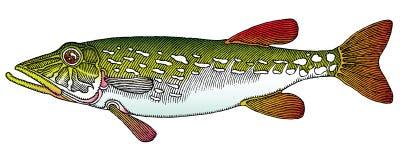 Il colore del Pike vectored l'illustrazione Immagini Stock