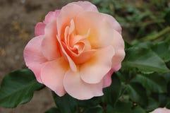 Il colore della rosa dell'alba Fotografia Stock