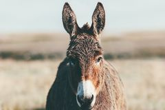 Il colore di marrone dell'animale da allevamento dell'asino alla fine della prateria su si dirige Immagine Stock