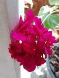 Il colore di questo fiore consiste di parecchi colori immagini stock