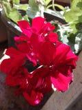 Il colore di questo fiore consiste di parecchi colori fotografia stock libera da diritti