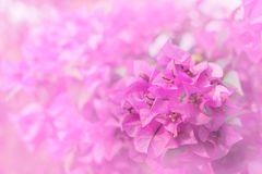 Il colore dolce di carta o della buganvillea fiorisce nello stile della sfuocatura e di morbidezza per fondo fotografie stock libere da diritti