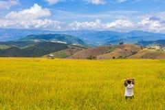 Il colore dorato ha fatto un passo riso archivato in Chiang Mai, Tailandia del Nord Fotografia Stock