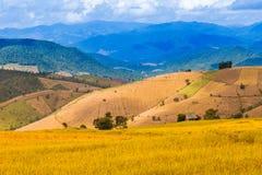 Il colore dorato ha fatto un passo riso archivato in Chiang Mai, Tailandia del Nord Fotografie Stock