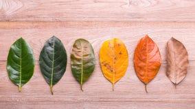 Il colore e l'età differenti delle foglie della nangka lascia la f Fotografia Stock