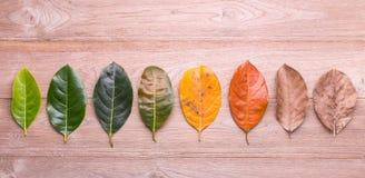 Il colore e l'età differenti delle foglie della nangka lascia la f Fotografia Stock Libera da Diritti