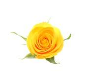 Il colore giallo è aumentato. Fotografia Stock Libera da Diritti