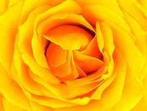 Il colore giallo è aumentato Immagine Stock