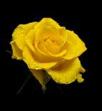 Il colore giallo è aumentato nelle gocce di rugiada su una priorità bassa nera Immagini Stock Libere da Diritti