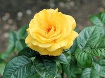 Il colore giallo è aumentato Fotografia Stock Libera da Diritti